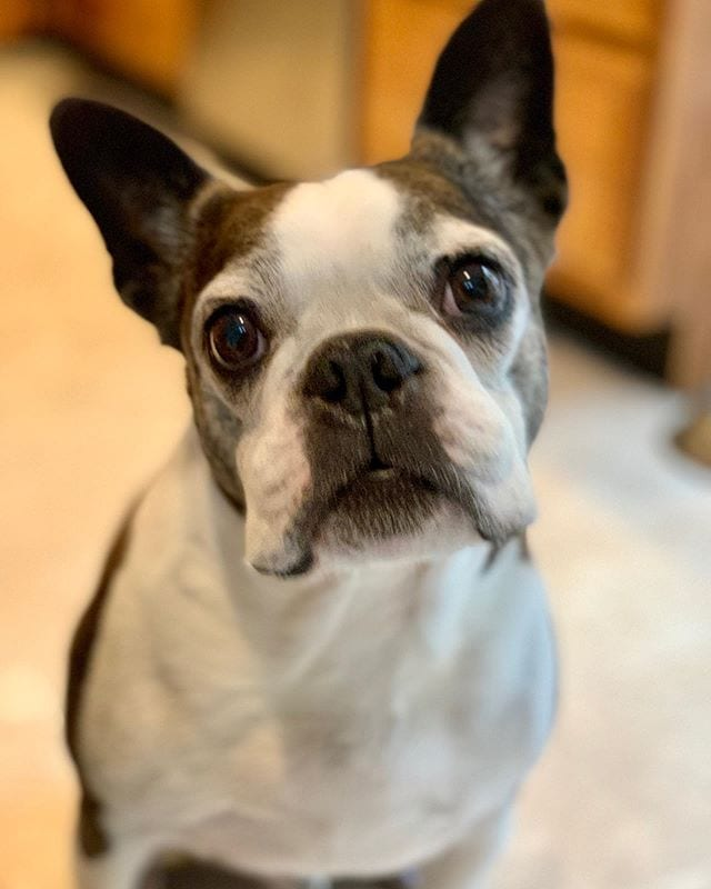 Miles turns 10 today! ❤️ He got way too many treats at Desmond's birthday party yesterday, and his tummy hasn't been feeling so good today. 🤢